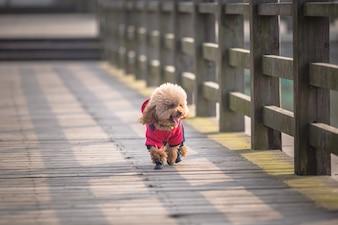 Toy Poodle jouant dans un parc