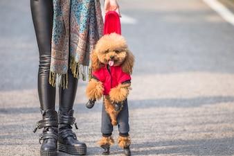 Toy Poodle joue avec son maître féminin