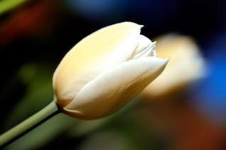 tulipe blanche bleu