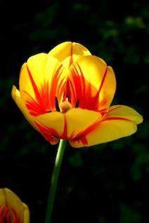 tulipe matin