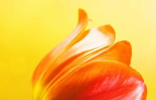 tulipe sur fond jaune