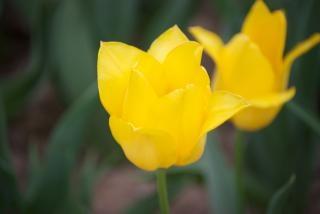 tulipes jaunes, des fleurs