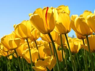 tulipes jaunes