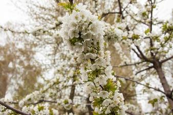 Un bouquet de fleurs de cerisier au printemps