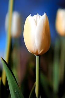 vibrance tulipe blanche