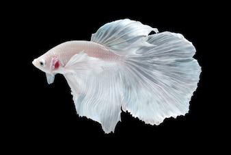 White Halfmoon Betta splendens poisson