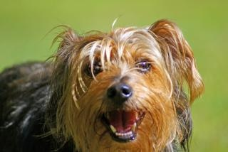 Yorkshire terrier, en plein air