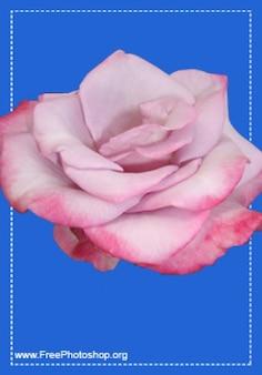 Bonito rosas psd vermelho