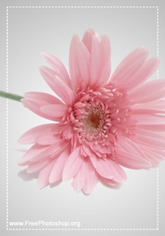 Rosa linda flor psd