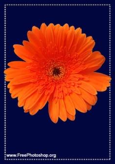 Arancione petalo di fiore psd