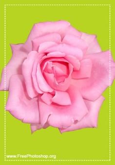 Carino rosa psd