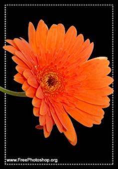Beautful orange Blume