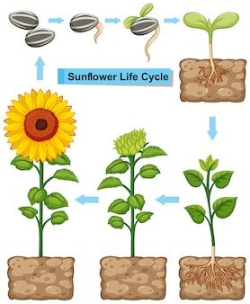 Cycle de vie de l'usine de tournesol