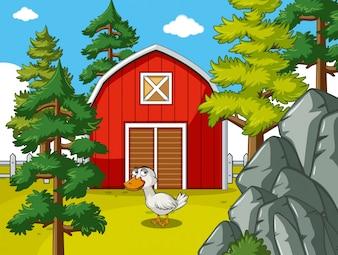 Scène agricole avec canard devant une grange rouge