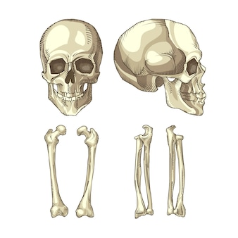 Colección de huesos y calaveras