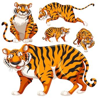 Colección de tigres a color