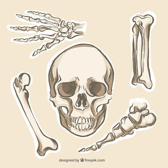 Colección huesos humanos