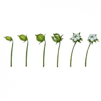 Crecimiento de la planta de algodón