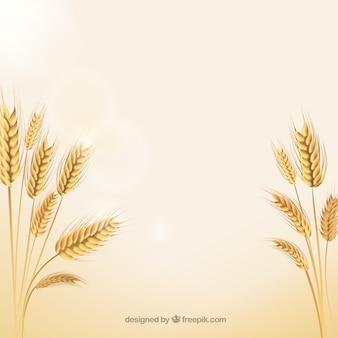 Espigas de trigo natural