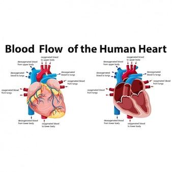 Estudio del corazón humano