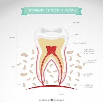 Infografía de diente