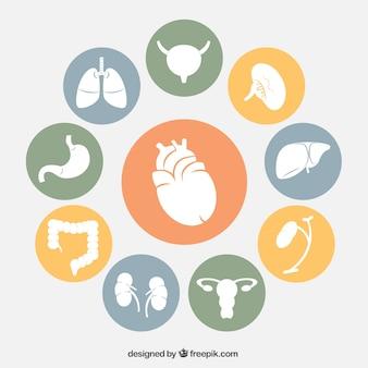 Órganos humanos iconos