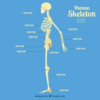 Perfil de esqueleto humano