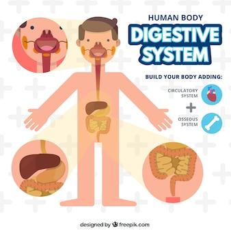 Sistema difestivo del cuerpo humano