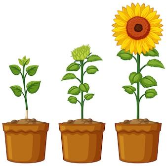 Drei Töpfe Sonnenblumenpflanzen