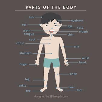 Hand gezeichnete Teile des Körpers