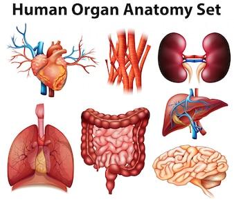 Plakat der menschlichen Organanatomie