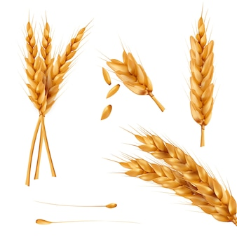 Conjunto de ilustrações vetoriais de espetadas de trigo, grãos, galinhas de trigo isoladas no fundo branco.