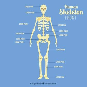 Frente esqueleto humano