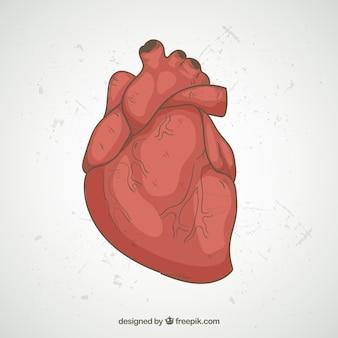 Ilustração realística do coração