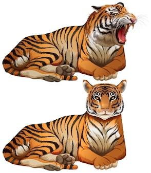 Tigres selvagens no fundo branco