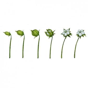 La crescita delle piante di cotone