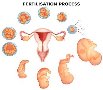 Processo di fertilizzazione sull'illustrazione umana
