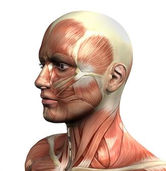 3D-figuur met close-up van het gezicht met spier-kaart