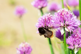 Allium plant met bij