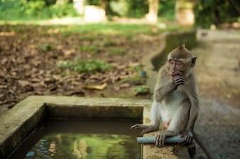 Apen in Ubud Bali