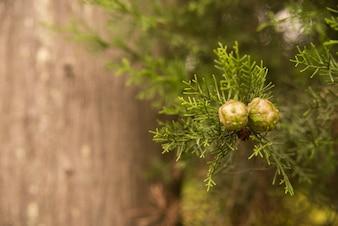 Cypress zaden op een tak close-up macro