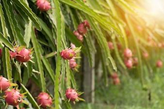 Dragon fruit op plant, Raw Pitaya fruit op boom, Een pitaya of pitahaya is het fruit van verschillende cactus soorten inheems aan Amerika