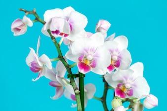 Fantastische witte orchideeën met paarse gegevens