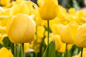 Gele tulp in de lente