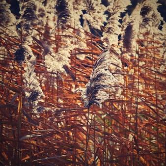 Gemeenschappelijke riet. Mooie natuurlijke achtergrond met de zon. (Phragmites australis)