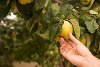 Hand die een fruit in de boom houdt