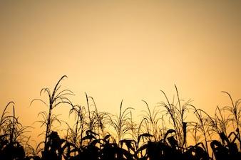Heldere lucht met gouden licht van zonsopgang effect en maïsveld voor scène, Mooie natuurlijke openlucht voor vintage achtergrond