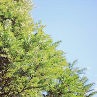 Heldergroene stekelige takken van een bontboom of dennenboom met blauwe lucht
