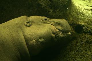 Hippo onderwater