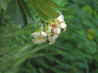Jasmijn bloem groen